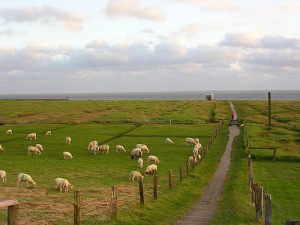 Lambs (and sheep!) on Hamburger Hallig